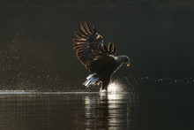 White Tailed Eagle Hunting.
