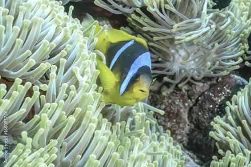 Fotografie, Tablou  Anemonenfisch mit Anemone, Rotes Meer