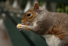 Squirrel Holds A Peanuts On Bench In The Park