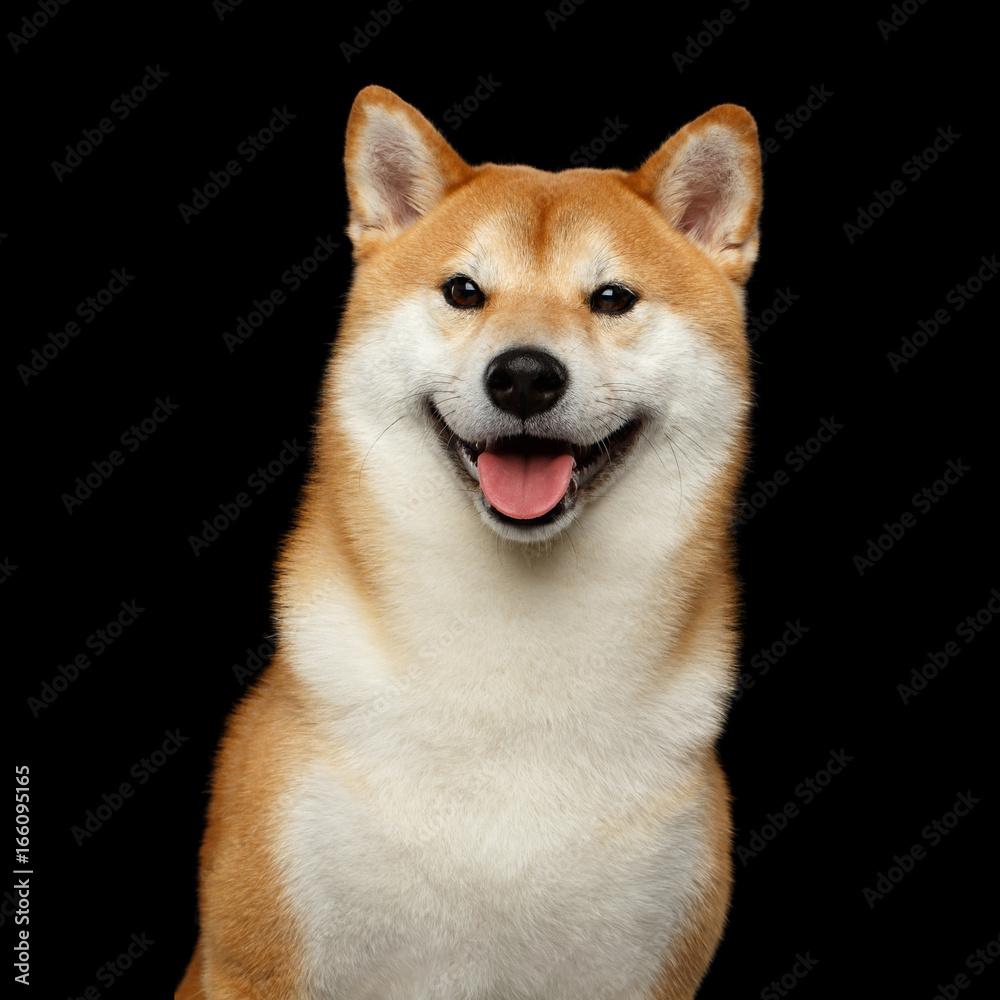 Fotografie Obraz Portrait of Smiling Shiba inu Dog Looks Happy