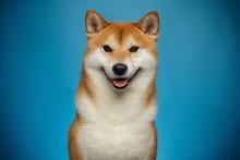 Portrait Of Smiling Shiba Inu ...