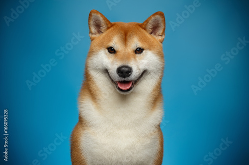 Photo Portrait of Smiling Shiba inu Dog on Blue Background, Front view