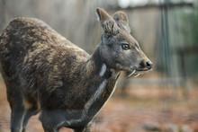 Siberian Musk Deer Hoofed Anim...