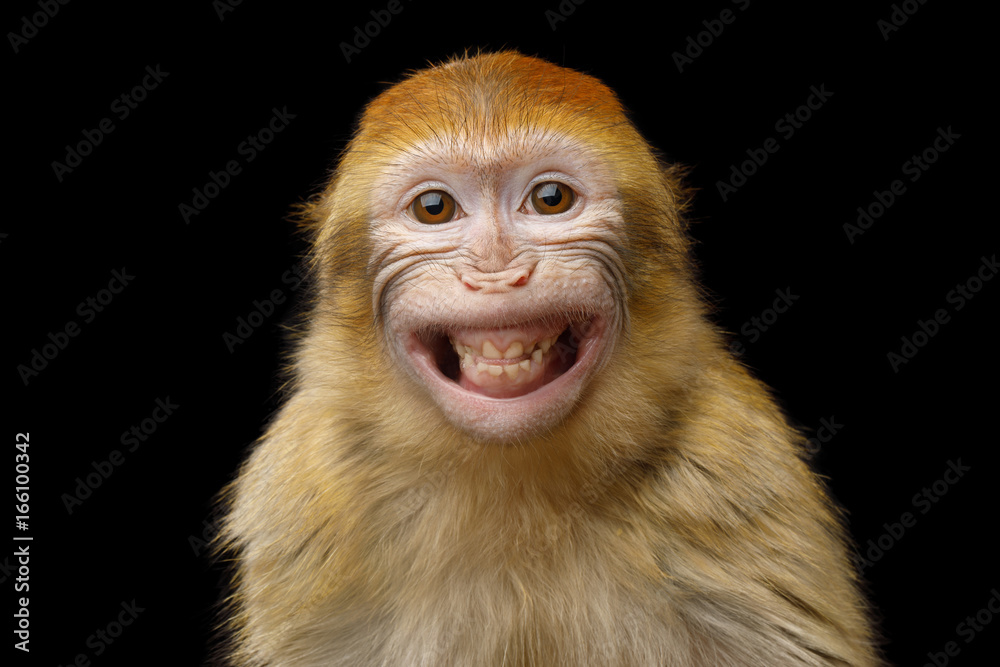 Fototapety, obrazy: Funny Portrait of Smiling Barbary Macaque Monkey, showing teeth Isolated on Black Background