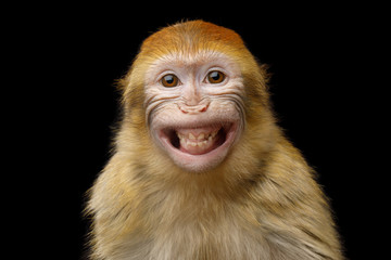 Fototapeta Funny Portrait of Smiling Barbary Macaque Monkey, showing teeth Isolated on Black Background