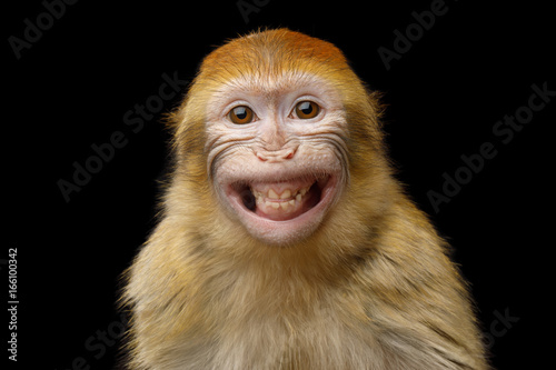Spoed Foto op Canvas Aap Funny Portrait of Smiling Barbary Macaque Monkey, showing teeth Isolated on Black Background