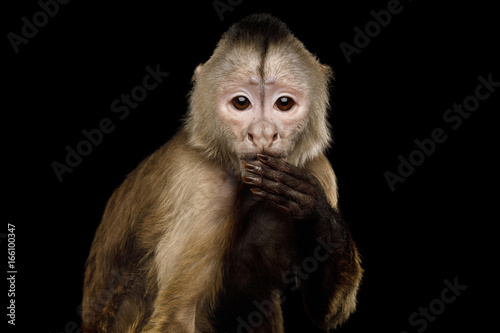 Close up Portrait of Funny Capuchin Monkey Hanging hand on mouth, Isolated on Bl Canvas Print