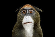 Close-up Portrait Of Funny De Brazza's Monkey On Isolated Black Background