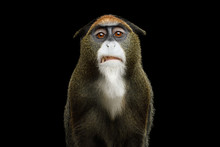 Close-up Portrait Of Disgust De Brazza's Monkey On Isolated Black Background