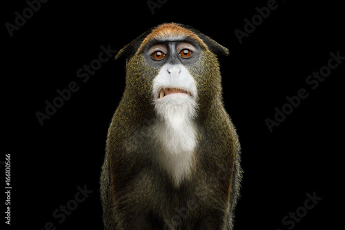 Foto op Plexiglas Aap Close-up Portrait of Disgust De Brazza's Monkey on Isolated Black Background