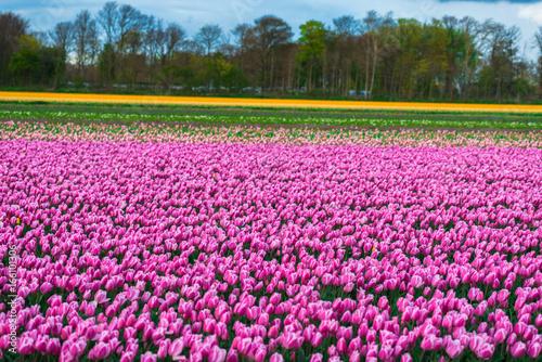 Spoed Fotobehang Roze Beautiful tulips field