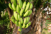 Banana Tree With Bunch Of Bananas In Martinique