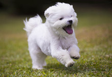 Dog Playing  / White Maltese Dog Playing And Running On Green Grass And Plants Background