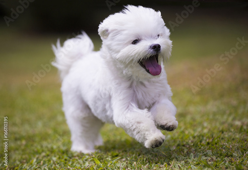 Fényképezés  dog playing  / white maltese dog playing and running on green grass and plants b