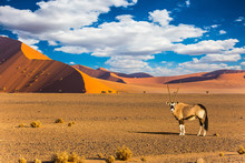 Oryx Standing At The Road