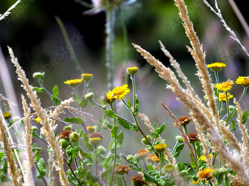 Fotomural Fleurs de garrigue