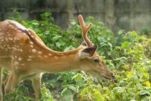 A Deer In The Green Garden