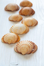 Seashells (acanthocardia Tubercolata) Group. Perspective Vertical View