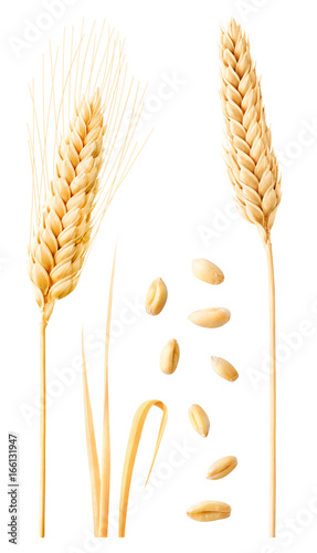 Isolated wheat collection. Two ripe wheat ears on stems, leaves and peeled grains isolated on white background with clipping path