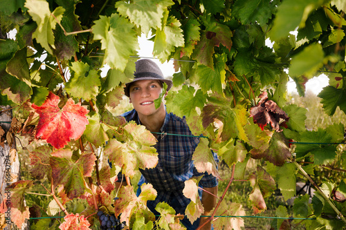 Young farmer is looking at camera through the grape leaves while harvesting grapes in vineyard