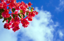 A Branch Of Pink Bougainvillea Flowers Against The Bright Blue Sky With White Clouds