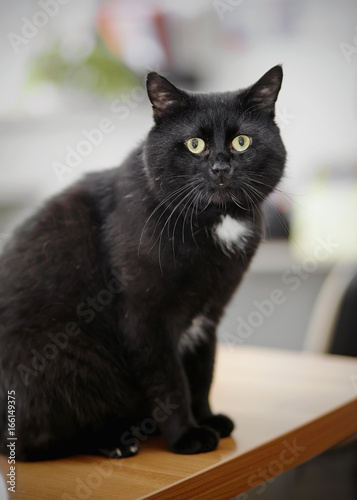 In de dag Panter The black cat with green eyes sits