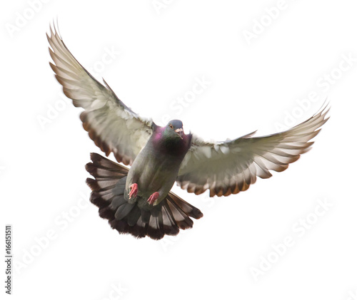 action of homing pigeon bird approaching to landing on ground isolated white