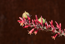 Closeup Of Red Yucca Flowers A...