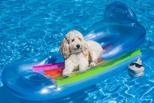 A Labradoodle Floats In A Pool...
