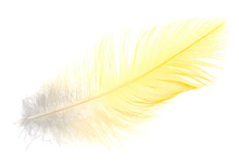 Yellow Feather On A White Back...