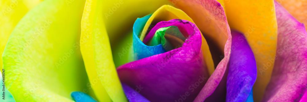 Fototapety, obrazy: Bunte Rose in Regenbogenfarben, Banner
