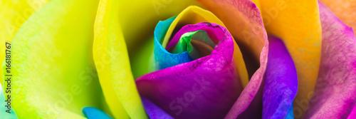 Fotografía  Bunte Rose in Regenbogenfarben, Banner
