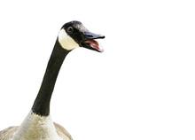 Canada Goose Talking