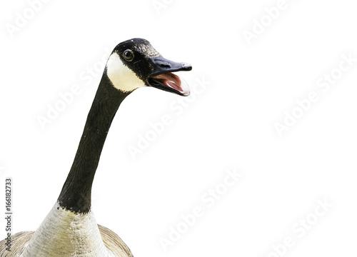 Valokuva  Canada goose talking