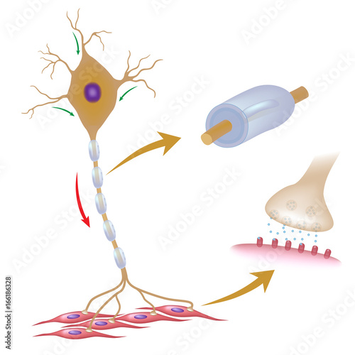 Motor neuron with myelin and synapse - Buy this stock