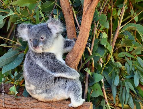 Fotobehang Koala Cute koala looking on a tree branch eucalyptus