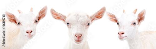 Three  goats closeup, isolated on white background