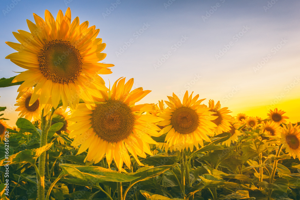 Beautiful sunflower field with lovely yellow flowers in sunset light, summer concept suitable for wallpaper