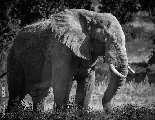 Foto op Aluminium Olifant (Seiten-)Ansicht eines elefanten