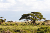 Fototapeta Sawanna - Landscapes of savanna of Amboseli. Kenya, Africa