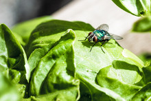 Common Greenbottle Fly (Lucili...