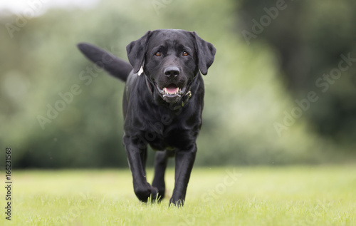 Black labrador retriever dog Poster Mural XXL