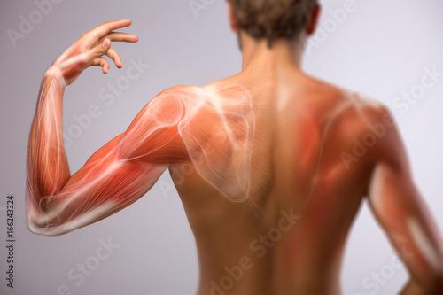 Obraz na plátně  Human arm anatomy.