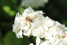 Interesting Bug On Moms Hydrangea