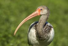 Long Beak Of A Young White Ibis.
