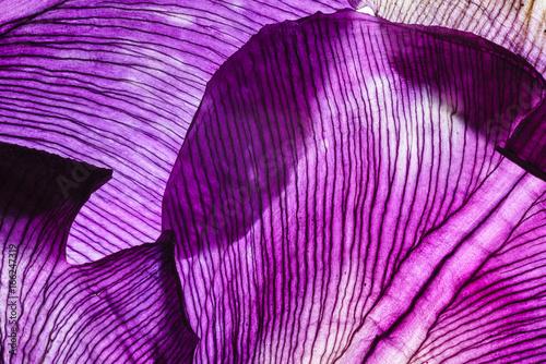 Poster Iris iris petals closeup