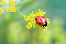 Close-up Of A Ladybug On Little Yellow Flowers - Summer Beauty