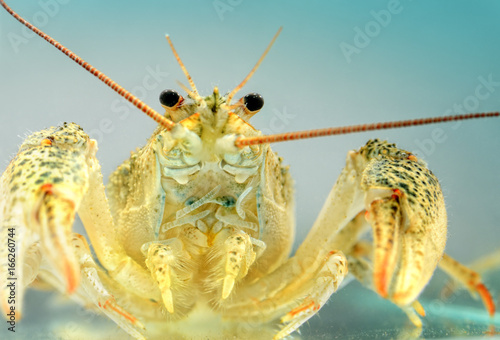 Live crayfish in the water close up. Freshwater crustaceans.