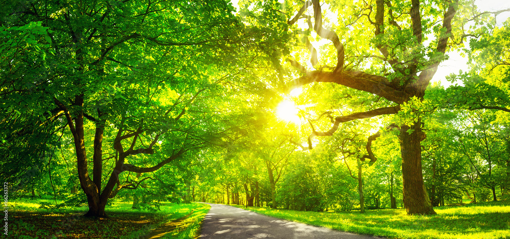 old oak tree foliage in morning light with sunlight