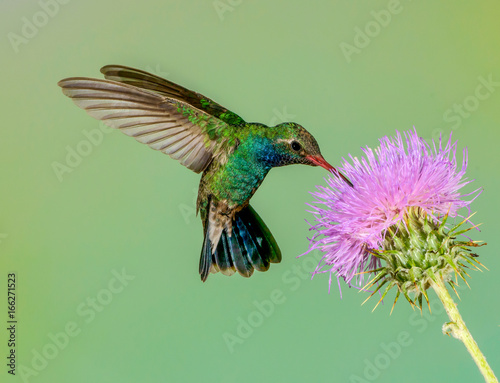 Photo sur Toile Oiseau Male broadbilled hummingbird feed on purple thistle